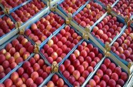 روزانه ۳ هزار تن سیب درختی از آذربایجان غربی به کشورهای همسایه صادر می شود