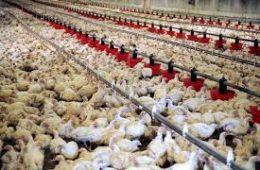 پشتیبانی امور دام از عوامل رکود تولید صنعت دامداری و مرغداری است