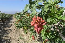کشت۳۷۰هکتار پسته در اراضی کشاورزی استان