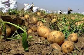 برداشت ۴۴ هزار تن سیب زمینی از مزارع آذربایجان غربی