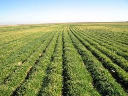 خرید تضمینی گندم مشروط بر ثبت نام تولیدکنندگان در سامانه جامع پهنه بندی است