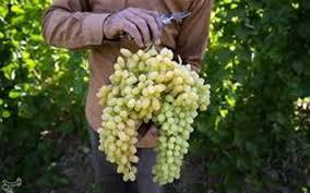 پیش بینی تولید بیش از ۲۶۵هزار تن انگور در آذربایجانغربی