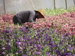 تولید بیش از ۲ میلیون گل شاخه بریده در سطح استان