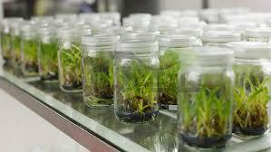 تولید انبوه نشاء گیاه دارویی استویا از طریق کشت بافت در استان