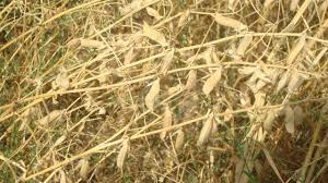 اختصاص ۷۵۸ هکتاراز اراضی زراعی استان به کشت پاییزه ماشک و خلر