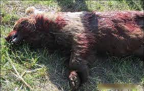 شکارچیان خرس در ارومیه به اقامت اجباری و تحمل حبس تعزیری محکوم شدند