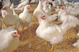 """پرورش مرغ نژاد """"آرین"""" از دی امسال در استان آغاز می شود"""