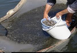 پیش بینی تکثیر و رهاسازی ۷ میلیون قطعه ماهی در پلدشت