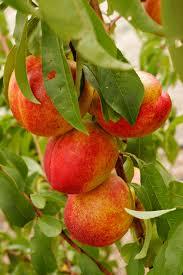 پیش بینی برداشت بیش از ۲۵ هزارتن شلیل از باغات استان