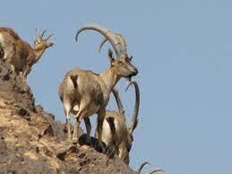بررسی اجرای طرح کنترل و پایش اولین منطقه حفاظت شده کشور در منطقه مراکان