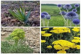 برداشت ۲۸۰۰ تن انواع گیاهان دارویی در آذربایجان غربی
