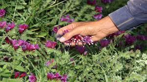 گیاهان دارویی پتانسیل ارزشمندی در راستای ایجاد اشتغال در منطقه است