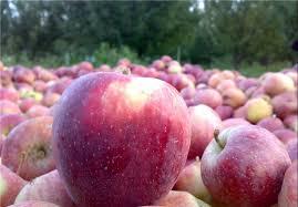 سیب شب عید کشور از آذربایجان غربی تامین می شود