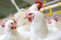 مراقبت و پایش های مستمر بیماری آنفلوانزای فوق حاد پرندگان در آذبایجان غربی