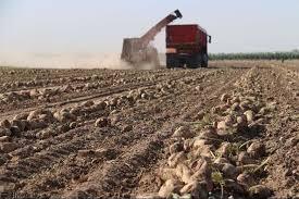پیش بینی برداشت ۲۳۵ هزار تن چغندرقند از مزارع نقده