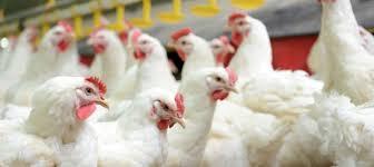 جهت پیشگیری از بیماری از خرید مرغ زنده خودداری شود