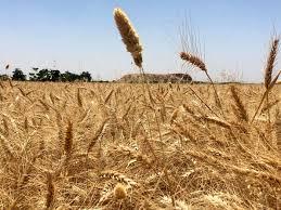 پیش بینی خرید حدود ۵۱۴ هزار تن محصول گندم از سوی مراکز خرید دولتی