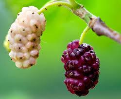 آغاز برداشت ۲۲۸ تن میوه توت درختی