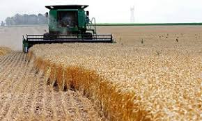 بیش از ۱۸۶ هزار تن گندم از زارعین استان خریداری شد