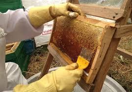 ۲۹ درصد عسل کشور در آذربایجانغربی تولید میشود