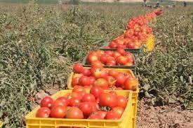 افزایش ۱۶ درصدی تولید محصول گوجه فرنگی در آذربایجان غربی