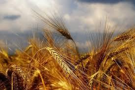 ذخیره ۲۳۷ هزار تنی گندم در آذربایجان غربی