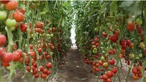 سطح زیر کشت گوجه فرنگی گلخانه ای در استان بیش از  ۲ هکتار است