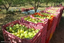 خرید سیب درختی در ۵۲ مرکز استان انجام می شود