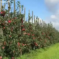 ۶۰ درصد از باغات سیب پایه رویشی در ارومیه به ثمر نشست