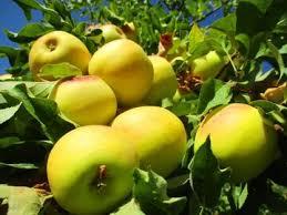 سالانه بیش از ۴ میلیون تن سیب تولید می شود