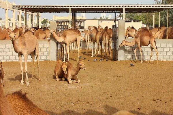 پرورش۳۸۵ نفر شتر در سطح استان آذربایجان غربی